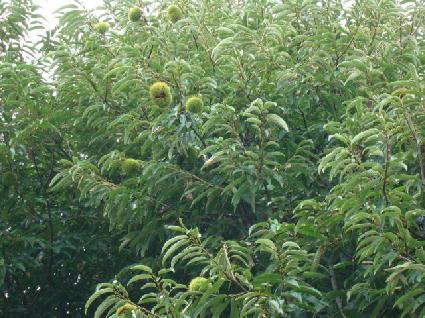 080921栗の木.jpg