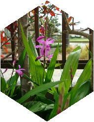 100413紫蘭.jpg