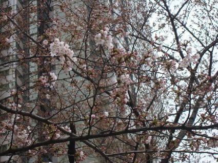 110403桜.jpg