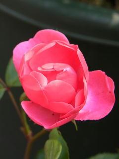 120508つるバラ咲き.jpg