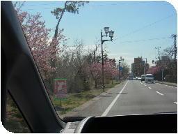 130311河津桜1.jpg