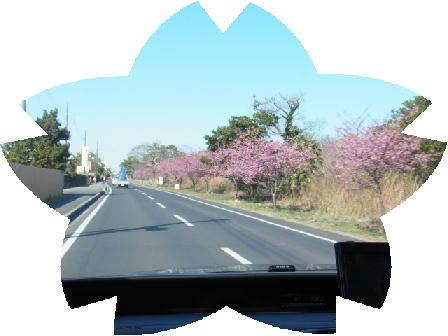 130311河津桜3.jpg