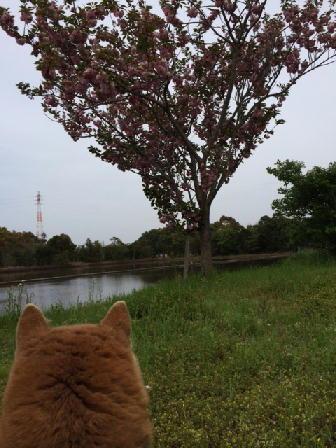 160426アミ桜.JPG