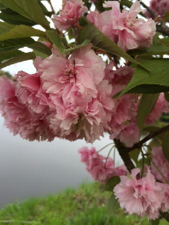 160426桜.JPG